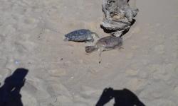 Tartarugas são encontradas mortas em Praia de Marobá
