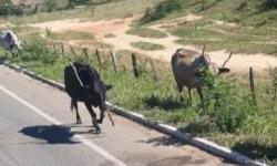 Motociclista se revolta com animais na pista em Praia de Marobá; Veja vídeo