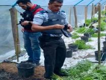 300 pés de maconha, três armas e um homem preso em Alfredo Chaves