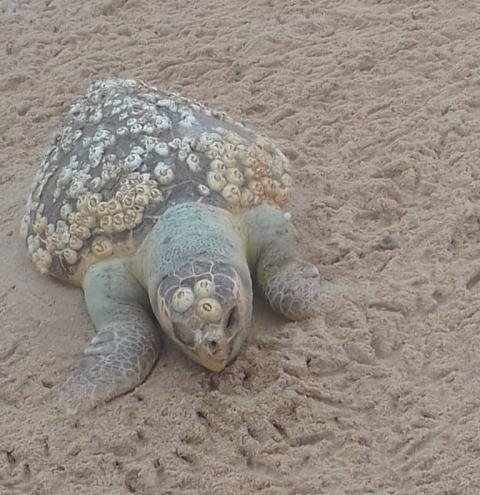 Tartaruga é encontrada morta em Praia das Neves