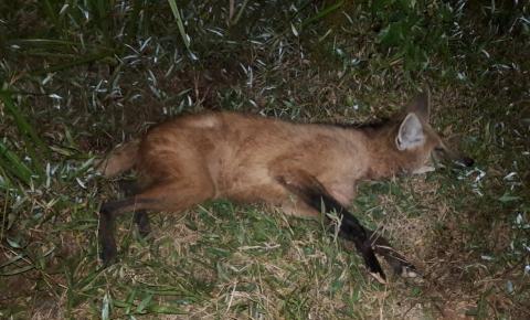 Secretaria de Meio Ambiente e moradores salvam lobo-guará após atropelamento em Presidente Kennedy
