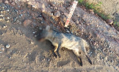 Cachorro-do-mato é atropelado e morre em Presidente Kennedy