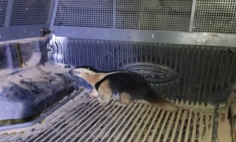 GCM resgata animal silvestre em Praia de Marobá