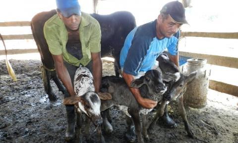 Vaca dá cria a três bezerros